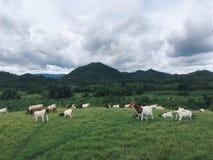 Cabra de granja que cultiva entre montes, Kanchanaburi, Tailândia Imagens de Stock Royalty Free