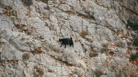 Cabra de la escalada Imagen de archivo