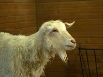 Cabra de la granja Foto de archivo libre de regalías