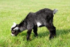 Cabra de la granja de bebé que come la hierba Imágenes de archivo libres de regalías