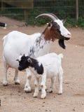 Cabra de la madre con goatling Foto de archivo