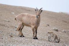 Cabra de la madre y del bebé Fotografía de archivo libre de regalías