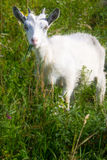 Cabra de la niñera Foto de archivo