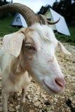 Cabra de la niñera Imagen de archivo libre de regalías