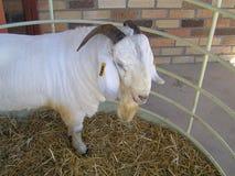 Cabra de la sabana imagen de archivo libre de regalías