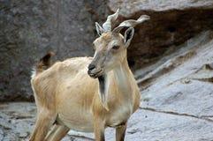 Cabra de montaña foto de archivo libre de regalías