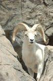 Cabra de montaña 2 Foto de archivo libre de regalías