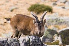 Cabra de montaña Imagenes de archivo