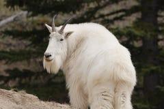 Cabra de montaña. Fotografía de archivo libre de regalías