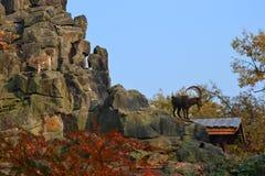 Cabra de montaña Imagen de archivo libre de regalías