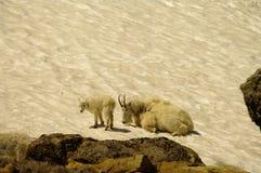 Cabra de montaña Foto de archivo