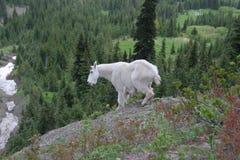 Cabra de montaña Fotografía de archivo