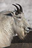 Cabra de montaña - ascendente cercano Fotografía de archivo