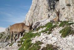 Cabra de montaña - cabra montés alpestre fotos de archivo