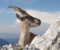 Cabra de montaña - cabra montés alpestre imagen de archivo