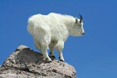 Cabra de montaña contra un cielo azul claro Imagenes de archivo