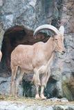 Cabra de montaña de Brown Fotos de archivo libres de regalías