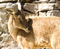 Cabra de montaña de Brown Imagen de archivo libre de regalías