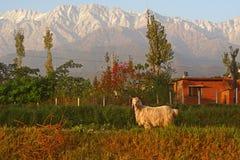 Cabra de montaña del aries del Capricornio en Himalaya indio imagen de archivo libre de regalías