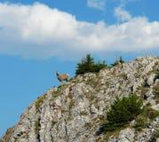 Cabra de montaña en el acantilado Foto de archivo libre de regalías