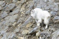 Cabra de montaña en el acantilado Fotografía de archivo