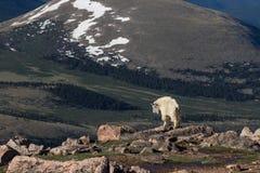 Cabra de montaña en el alpestre fotos de archivo