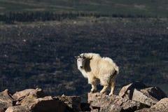 Cabra de montaña en el alpestre fotografía de archivo libre de regalías