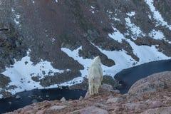 Cabra de montaña en el alpestre fotos de archivo libres de regalías