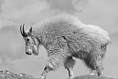 Cabra de montaña en el pico negro de Harney del pico de los alces en Custer State Park en el Black Hills Dakota del Sur los E.E.U fotografía de archivo libre de regalías
