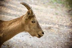 Cabra de montaña en fondo natural natural Retrato de la cabra de montaña en perfil Imágenes de archivo libres de regalías