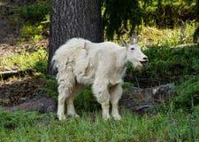 Cabra de montaña en Jasper National Park Imágenes de archivo libres de regalías