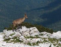 Cabra de montaña en Julian Alps foto de archivo libre de regalías