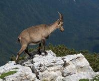 Cabra de montaña en Julian Alps fotos de archivo libres de regalías