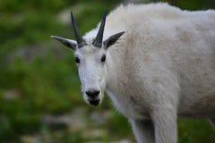 Cabra de montaña en Logan Pass Foto de archivo libre de regalías