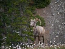 Cabra de montaña en parque nacional Fotografía de archivo libre de regalías