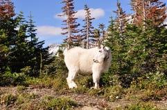 Cabra de montaña en Parque Nacional Glacier fotos de archivo