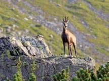 Cabra de montaña en piedra imagen de archivo