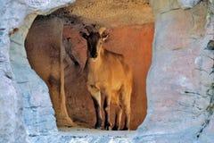 Cabra de montaña en Sydney Taronga Zoo Fotos de archivo libres de regalías