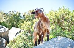 Cabra de montaña en una isla en el Mar Egeo Foto de archivo