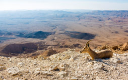 Cabra de montaña joven Imagenes de archivo