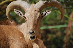 Cabra de montaña marroquí Foto de archivo libre de regalías