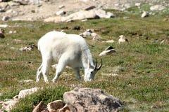 Cabra de montaña masculina del espolón que alimenta en un prado herboso encima de un MES Fotos de archivo