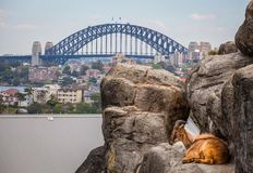 Cabra de montaña que descansa sobre rocas con Sydney Harbour Bridge en el fondo fotografía de archivo
