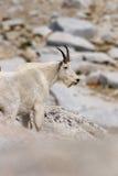 Cabra de montaña que mira hacia adelante Imágenes de archivo libres de regalías