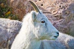 Cabra de montaña que mira a la izquierda Foto de archivo
