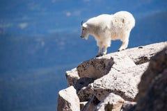 Cabra de montaña que se coloca en el borde de la montaña imagen de archivo libre de regalías