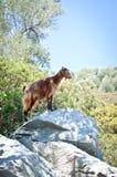 Cabra de montaña que se coloca en una roca en una isla en el Mar Egeo Imagenes de archivo