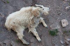 Cabra de montaña rocosa Fotografía de archivo