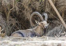 Cabra de montaña salvaje Imágenes de archivo libres de regalías