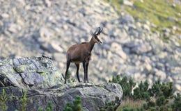 Cabra de montaña salvaje en piedra imágenes de archivo libres de regalías